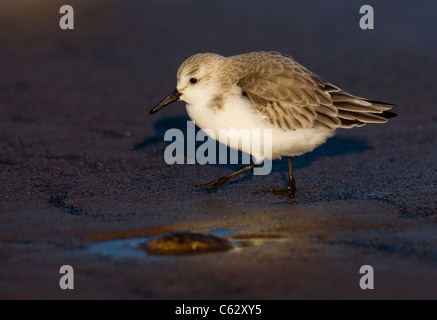 Bécasseau sanderling Calidris alba une nourriture adultes le long de la plage de golden soir lumière Lincolnshire, Photo Stock