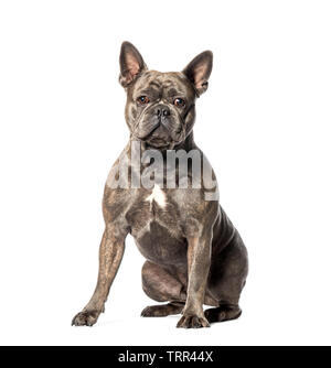 Bouledogue français, in front of white background Photo Stock