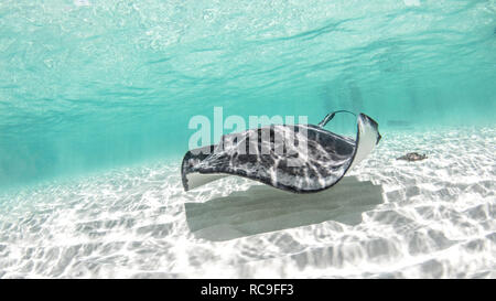 Le sud de stingray, Cozumel, Quintana Roo, Mexique Photo Stock