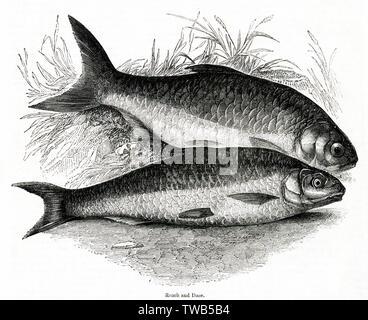 Le gardon (Rutilus rutilus) et Long (Leuciscus leuciscus). Date: 1842 Photo Stock