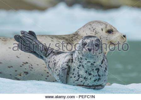 Harbour seal pup et à la fin de l'Endicott Arm, Ford's Terror Région sauvage. Photo Stock