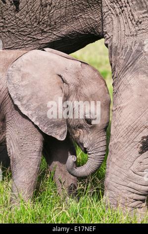 L'éléphant africain (Loxodonta africana) jeune veau et de sa mère. Le Parc national Amboseli au Kenya. Photo Stock