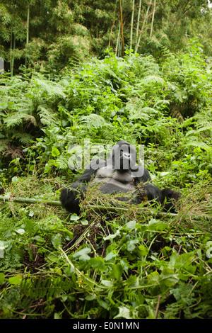 Gorille de montagne, Groupe Agashya, dans la végétation du parc national de volcans, Rwanda, Afrique (Gorilla beringei beringei) Photo Stock