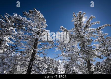 Sunstar et rime pins couvertes de glace dans les montagnes de San Bernardino, forêt nationale de San Bernardino, California USA Photo Stock