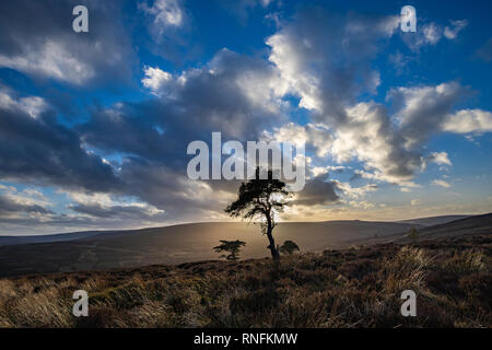 Au coucher du soleil d'hiver les Pines, North York Moors, Commondale Photo Stock