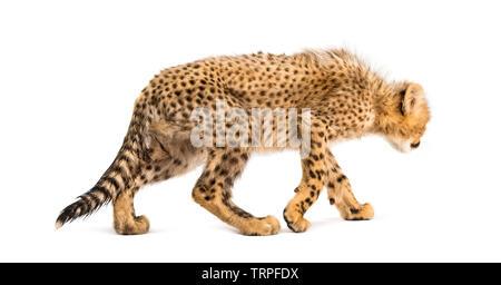 Vue arrière de l'âge de trois mois cheetah cubs marche loin, isolé sur blanc Photo Stock