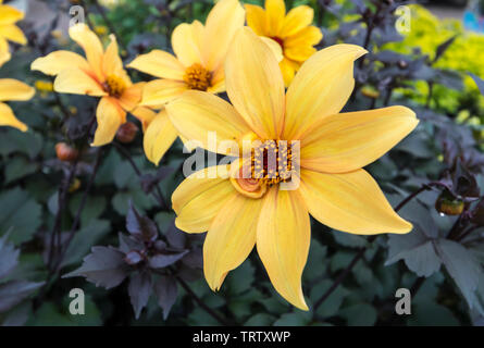 Dahlia 'Bishop of York' fleur, une vivace tubéreuse, en été dans le West Sussex, Angleterre, Royaume-Uni. Photo Stock