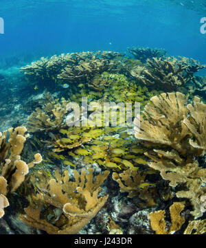 Grand champ de corail Elkhorn. Photo Stock