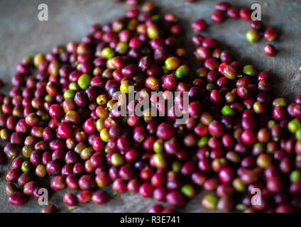 Les grains de café rouge frais, Oromia, Shishinda, Ethiopie Photo Stock