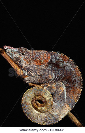 Short-horned chameleon, brevicornis Calumma, Madagascar Photo Stock