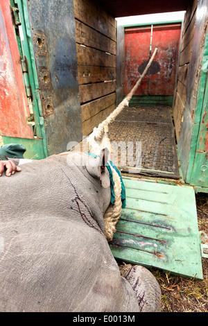 Le Rhinocéros noir (Diceros bicornis) chargées dans une cage pour la translocation.Ithala game reserve.Afrique du Sud Photo Stock