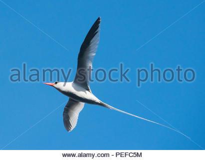 Un bec rouge bird flying. Photo Stock