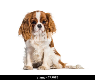 Chiot Cavalier King Charles Spaniel, chien Photo Stock