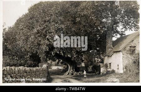 Le grand noyer - Bossington, Exmoor, Holnicote Estate, Somerset. Date: vers 1910 Photo Stock