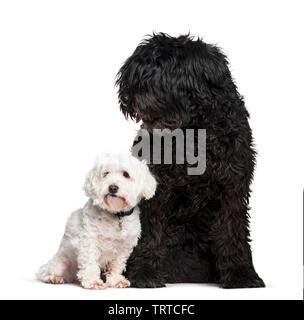 Bouvier des Flandres et Maltais chien assis à l'arrière-plan blanc Photo Stock