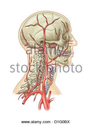 ILLUSTRATION - l'approvisionnement en sang artériel de TÊTE ET COU Photo Stock