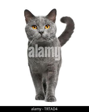 Chat chartreux, 16 years old, in front of white background Photo Stock