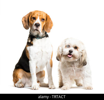 Beagle, Mixed-breed dog sitting in front of white background Photo Stock