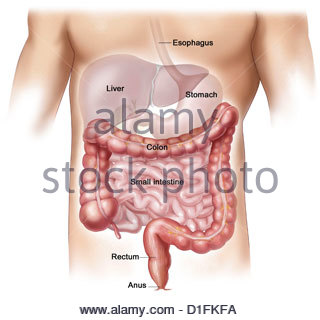 ILLUSTRATION - L'ANATOMIE GASTRO-INTESTINAUX Photo Stock