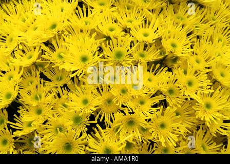 Chrysanthème pulvérisation genre frontière fleur jardin variété chef bud l'ambre jaune Photo Stock