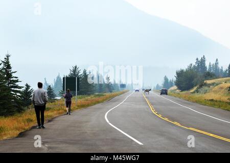 Wapitis sauvages traverse une route très fréquentée dans le parc national Jasper, BC Canadian Rockies Photo Stock