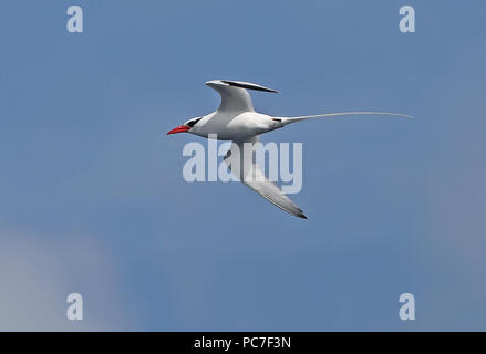 Phaéton à bec rouge (Fregata magnificens mesonauta) adulte en vol Cap Vert, est de l'Atlantique peuvent Photo Stock