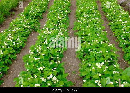 La floraison des fraisiers in allotment garden, Norfolk, Angleterre Photo Stock