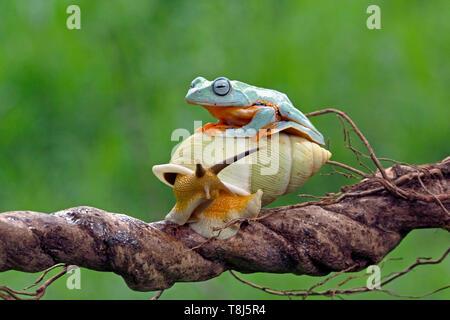 Javan grenouille d'arbre sur le dessus d'un escargot, Indonésie Photo Stock