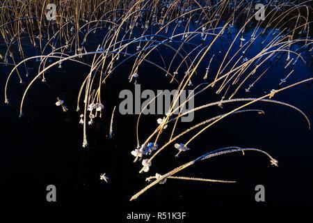 Le givre sur les roseaux à Hvalbukt dans le lac Vansjø, au Maroc. Photo Stock