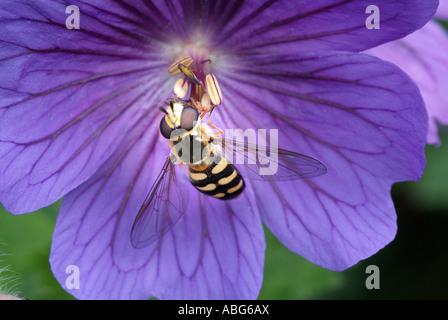 Hoverfly insecte diptère syrphe wasp imiter closeup close up géranium pourpre macro fleur commune England Photo Stock