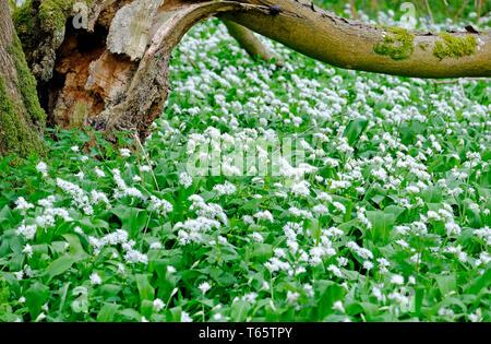 L'ail sauvage blanc fleurs en décor boisé, Norfolk, Angleterre Photo Stock