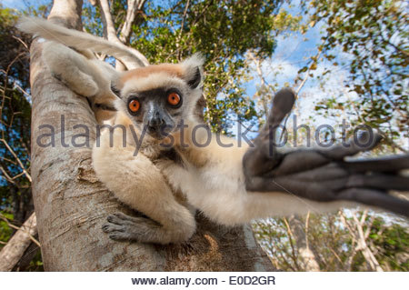 (Couronne dorée Tattersall's) Sifaka, Andranotsimaty, Daraina, Madagascar. (Propithecus tattersalli) Photo Stock