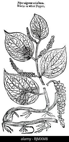 Une gravure représentant l'usine de poivre. À partir de John Parkinson Theatrum Botanicum ou le théâtre de plantes, Londres, 1640 Photo Stock