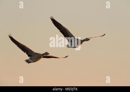 Deux, oies cendrées (Anser anser) en vol sur le lac Neusiedl au lever du soleil dans le Burgenland, Autriche Photo Stock