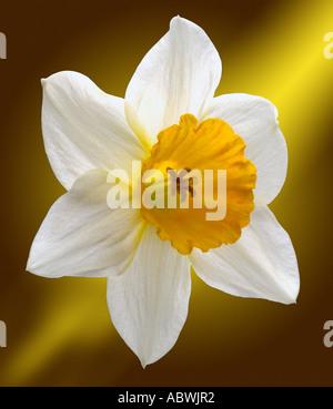La jonquille narcissus fleurs blanches au début du printemps première close up emblématique de l'atmosphère pittoresque paysage voyage moody classic Photo Stock