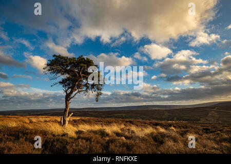 Lone Pine, Commondale, North York Moors Photo Stock