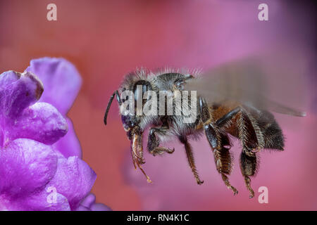 Près de l'abeille, Apis Sp. Photo Stock