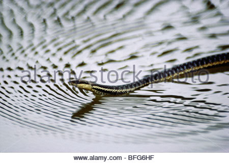 Madagascar serpent d'eau natation, Liopholidophis lateralis, Madagascar Photo Stock