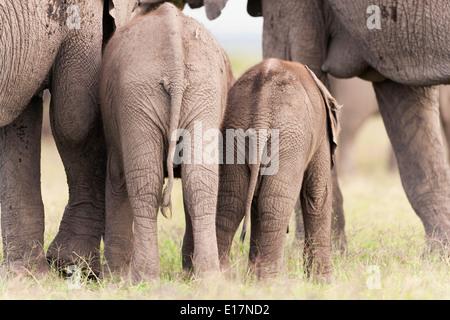 L'éléphant africain (Loxodonta africana) 2 jeunes veaux et leurs mères. Le Parc national Amboseli au Kenya. Photo Stock