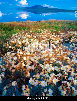 Fleurs d'onagre, l'Antilope Isalnd State Park, Grand Lac Salé en Utah Oenothera pallida Photo Stock
