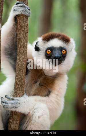 Le Propithèque de verreaux mâles, forêt de Kirindy, dans l'ouest de Madagascar (Propithecus verreauxi) Photo Stock