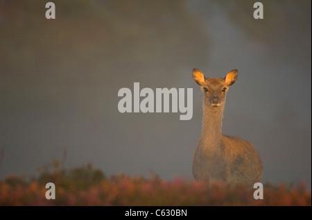 Le cerf sika Cervus nippon un veau sous-adultes est allumé par une douce lumière du soleil du matin filtrant Photo Stock