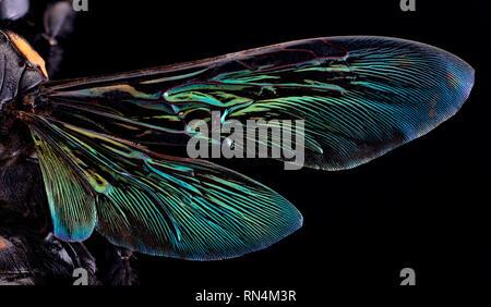 Les ailes - Wasp Scoliid géant Megascolia procer javanensis, Indonésie Photo Stock