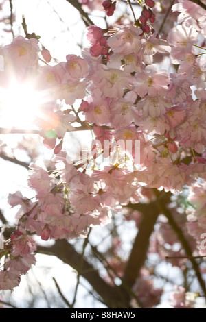 Cerisiers en fleurs au printemps Photo Stock