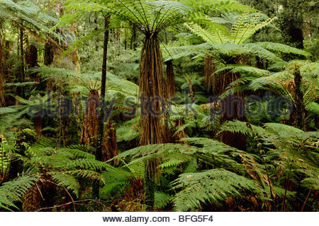 Fougères arborescentes dans podocarp Whirinaki, forêt Conservation Park, New Zealand Photo Stock