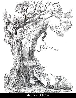 Une gravure représentant le Chêne Nannau, juste avant qu'il tombe le 13 juillet 1813. Sele Howel, seigneur de Nannau, a été tué au cours d'une querelle de chasse avec son cousin Owen Glendower, et son corps a été caché dans le tronc creux de l'arbre. En date du 19e siècle Photo Stock