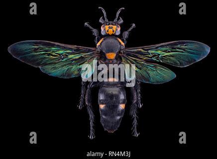 Scoliid géant Wasp - Megascolia procer javanensis, Indonésie Photo Stock