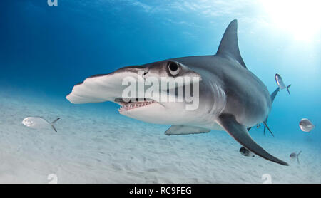 Grand requin marteau, Alice Town, Bimini, Bahamas Photo Stock