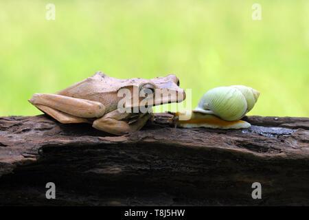 Hibou grenouille d'arbre et un escargot sur une branche, l'Indonésie Photo Stock