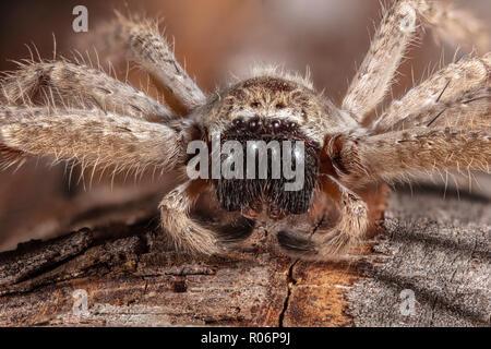 Araignée crabe géant, Olios giganteus Photo Stock
